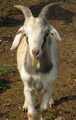 Goat from 2007 test