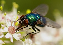 fly (grahambrown1965) Tags: flower macro insect 50mm sussex fly wings brighton westsussex pentax devils wing manual dyke istds pentaxistds devilsdyke justpentax smcpm50mmf4 ○smc m50mm4macrovoronov smcpm50mmf40