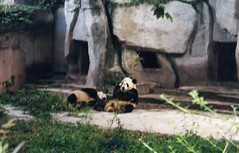 (joaquinuy) Tags: china bear white black cute nature mammal chengdu pandabears nationalsymbol