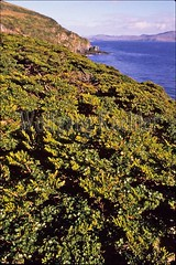 60014287 (wolfgangkaehler) Tags: chile trees southamerica landscape landscapes scenic scenics capehorn southernbeechtree capehornchile