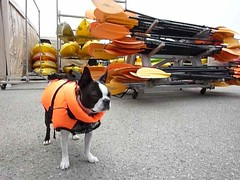 Hank, a Boston Terrier, wears a life vest
