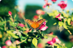 stopping to smell the roses (*Karo*) Tags: butterfly dallas arboretum explore 50mmf14d explorefrontpage