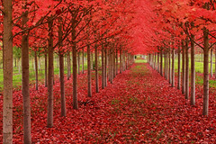Under A Blood Red Sky (Ian Sane) Tags: autumn trees red sky fall field leaves saint st oregon ian louis blood farm under perspective tunnel rows agriculture sane a