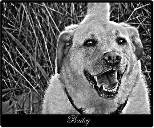 Bailey - yellow Labrador Retriever