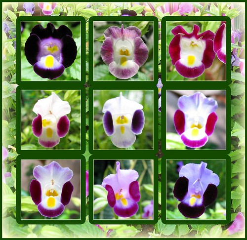 Photo collage of colorful faces of Torenia (Wishbone Flower)