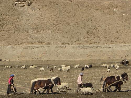 Arando la arida tierra tibetana