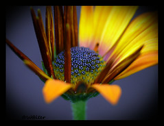 (W@lter) Tags: excellence top20flowers piratetreasure colorphotoaward impressedbeauty infinestyle diamondclassphotographer fiveflickrfavs piratetreasure2 macromarvels piratetreasure3 piratetreasure4 piratetreasure5 piratetreasure6