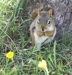 Cute Little Guy (Skipbro) Tags: canada squirrel princeedwardisland animalkingdomelite