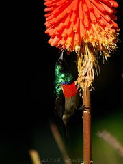 Greater Double-Collared Sunbird (Makgobokgobo) Tags: africa flower male bird southafrica sunbird waterberg kniphofia redhotpoker torchlily greaterdoublecollaredsunbird cinnyrisafer kniphofiauvaria thabazimbi cinnyris anawesomeshot waterbergcountrylodge