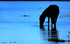 Banhado em lua (Eduardo Amorim) Tags: brazil horses horse southamerica brasil criollo caballo cheval caballos cavalos pelotas pferde cavalli cavallo cavalo pferd riograndedosul pampa hest hevonen campanha brsil luar chevaux paard paarden  amricadosul hst  amriquedusud   sudamrica suramrica amricadelsur  sdamerika crioulo caballoscriollos criollos   costadoce americadelsud mywinners anawesomeshot  crioulos cavalocrioulo americameridionale holidaysvacanzeurlaub caballocriollo eduardoamorim cavaloscrioulos