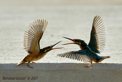 Kingfishe - Dance Pairing (dawey [Mohammad Alhameed]) Tags: blue orange green bird nature water animal canon dance raw iso400 wildlife grand national mohammad orang eos20d f9 mohanad voluntary 400mm mohamad   picturecollection vwc    canonef400mmf56lusm  canon400mm conon20d dawey lens400mm avianexcellence    photovwc