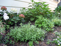 catmint and hydrangeas