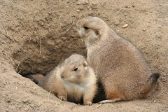 Prairie dog pair (slambo_42) Tags: dog animals wisconsin zoo pair madison prairie wi vilas