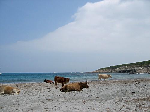 Vaches de plage (européennes!) au Cap Corse
