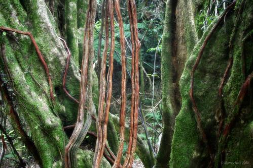 Vines and trunks - Pukatea Track