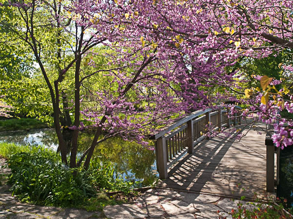 Footbridge and Lilacs at Olbrich Gardens in Madison Wisconsin