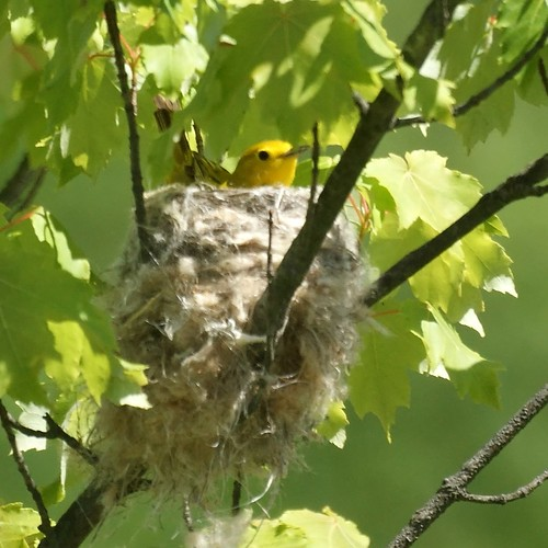 Yellow Warbler in nest