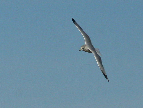 Ring-billed Gull 20101021