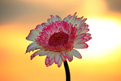 Hopeful (Spice  Trying to Catch Up!) Tags: pink light sunset shadow sky flower color nature yellow japan canon geotagged eos petals interesting stem flora kiss asia colours bokeh pistil stamen     gettyimages  ibarakiken  platinumphoto     canoneoskissx4