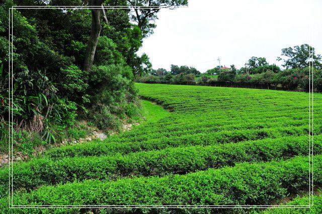 三水茗園~茶裡王15
