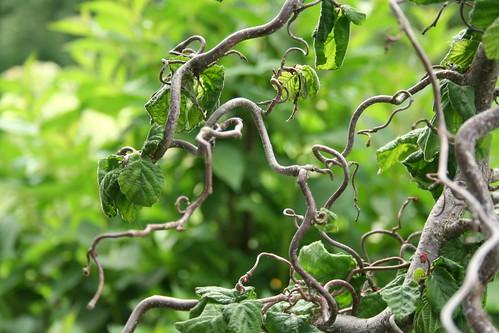 harry lauder/walking stick tree