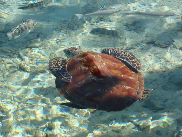 A turtle (Motu Tape - Le Meridien Bora Bora)