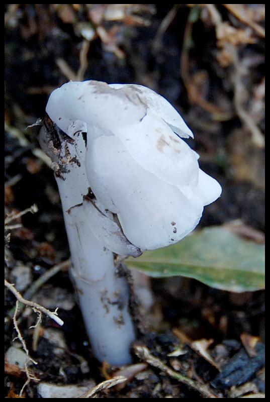 水晶蘭(鹿蹄草科)