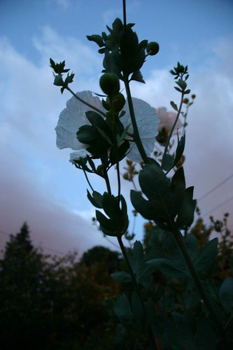 Solstice and the Matilija Poppy