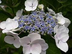 Hortensia (Melusine77) Tags: flowers blue white flower macro hydrangea hortensia macrophylla melusine77