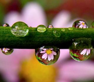 Daisy Droplets