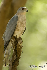 Sparrow hawk (dickysingh) Tags: wild india nature outdoor wildlife raptor aditya birdofprey sparrowhawk singh shikara dicky accipiterbadius indianbirds ranthambhorebagh adityasingh dickysingh ranthamborebagh theranthambhorebagh