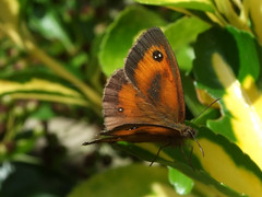 Gatekeeper Butterfly on shrub (macfudge1UK) Tags: uk summer england butterfly europe britain lepidoptera gb gatekeeper 2007 blueribbonwinner pyroniatithonus gatekeeperbutterfly instantfave allrightsreserved specnature magicofaworldinmacro