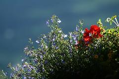 Südtiroler Balkonblumen (Florian Seiffert) Tags: italien italy altoadige southtyrol balkonblumen hubbies stleonhardt hubbiesontour sdtirol