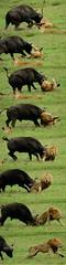 The Chase: How To Roll A Lion (Makgobokgobo) Tags: africa mammal buffalo lion botswana predator hunt wma okavango duba panthera pantheraleo synceruscaffer okavangodelta wildlifemanagementarea syncerus dubaplains ng23 kwandowildlifemanagementarea