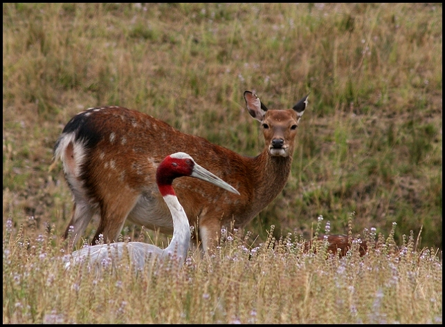 Sika Deer and Siris Crane