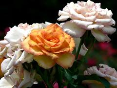 Stranger Among Us (Domesticated Diva) Tags: roses vacation orange usa white green orlando stem florida stranger bunch magickingdom ysplix xsplix