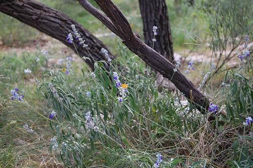Ranch - wild lavender