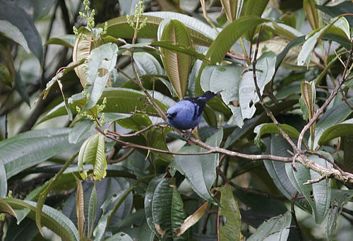 Blue-and-black Tanager, nominate
