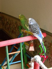 DSCN1069 (PhotoPieces) Tags: birds budgie parakeet ilovebirds