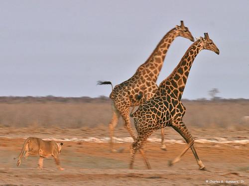 Een Gek Dier De Giraf: Informatie: Giraffen