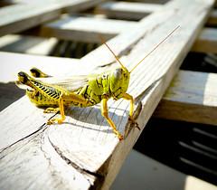 Hey guy..... (mike.palic) Tags: macro up bug backyard close grasshopper ac aplusphoto