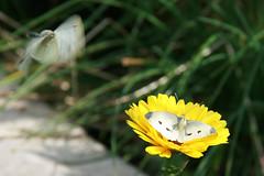Butterflies mating 3 (Jack Picknell) Tags: uk flowers butterfly garden kent wildlife butterflies mating faved largewhite faved2007