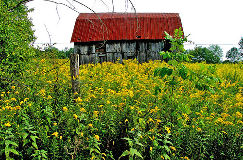 Goldenrod can colonize large areas