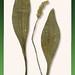 Plantain02
