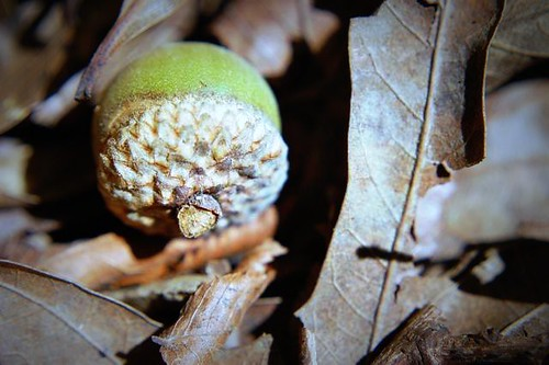 acorn among leaves