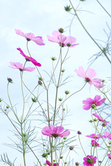 Thriving On (yoshiko314) Tags: pink autumn flower nature cosmos thrive d60 55mmf28aismicro