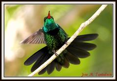 5-Descuaje total ante la vida es lo que anhelo!!! Esteriquemonos todos al mismo tiempo como esta esmeralda endemica para alejar la tristeza!!!!Ella lo hace en 9 fases de las cuales yo habia mostrado dos.Zumbador esmeralda-Chlorostilbon swainsonii. (Cimarrn Mayor !!!7,000.000 DE VISITAS, GRACIAS!!) Tags: naturaleza verde bird fauna dominicanrepublic sierra ave libre republicadominicana oiseaux montaas panta dominicano destellos endmica zumbador endemica bahoruco acaros canoneos7d sierradebahoruco canon7d zumbadoresmeralda chlorostilbonswainsonii aceitillar libertee cimarronmayor residentereproductor telefoto700 endmicadelahispaniola aceitillarsierra4 descuaje