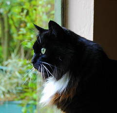 Kitty Gazes Intently Out the Window (Shawn's Kitty (Busy Healing!)) Tags: window kitty bestofcats anawesomeshot impressedbeauty