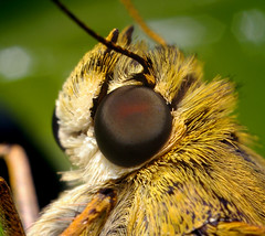 Skipper Head (Thomas Shahan) Tags: macro eye butterfly bug insect fur 50mm prime compound close asahi pentax small skipper insects bugs normal dslr ist bellows dl opo macrophotography f17 terser reveresed opoterser