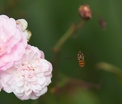 """Hovering hoverfly(4) • <a style=""""font-size:0.8em;"""" href=""""http://www.flickr.com/photos/57024565@N00/726908748/"""" target=""""_blank"""">View on Flickr</a>"""